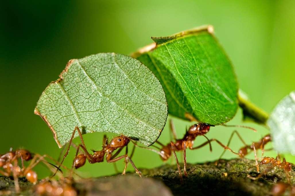 Maur som bærer grønne blader og går på kvist.
