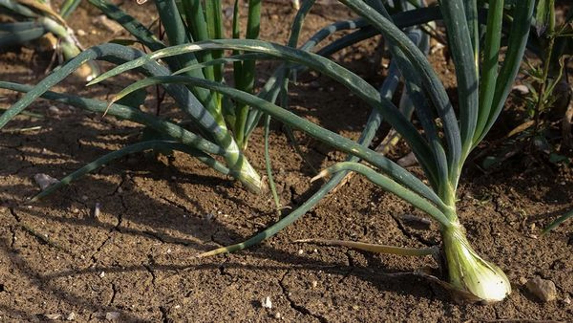 Onions in the ground on a farm