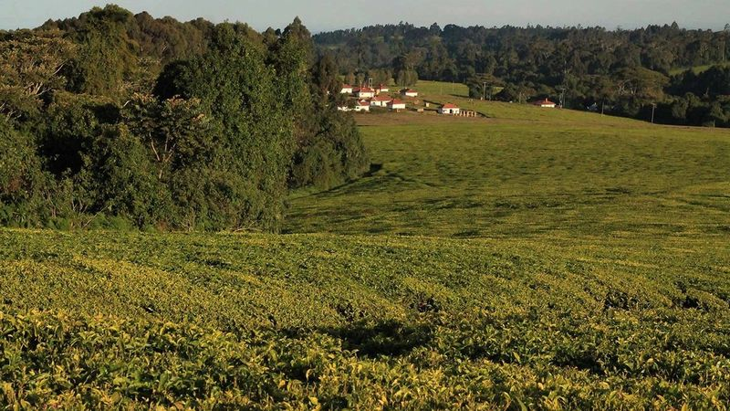 Tea growing fields with houses in the distance.