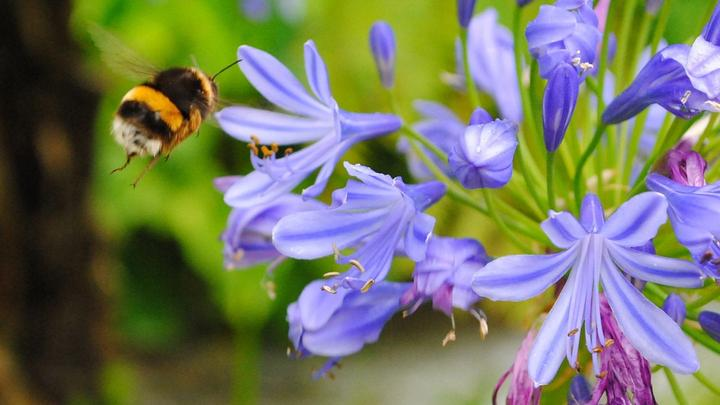 Bee on flower. Protecting biodiversity is central to Unilever's Sustainable Agriculture Programme