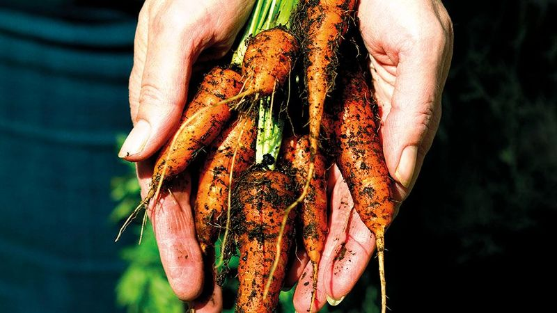 Feature image - Growing Roots carrot