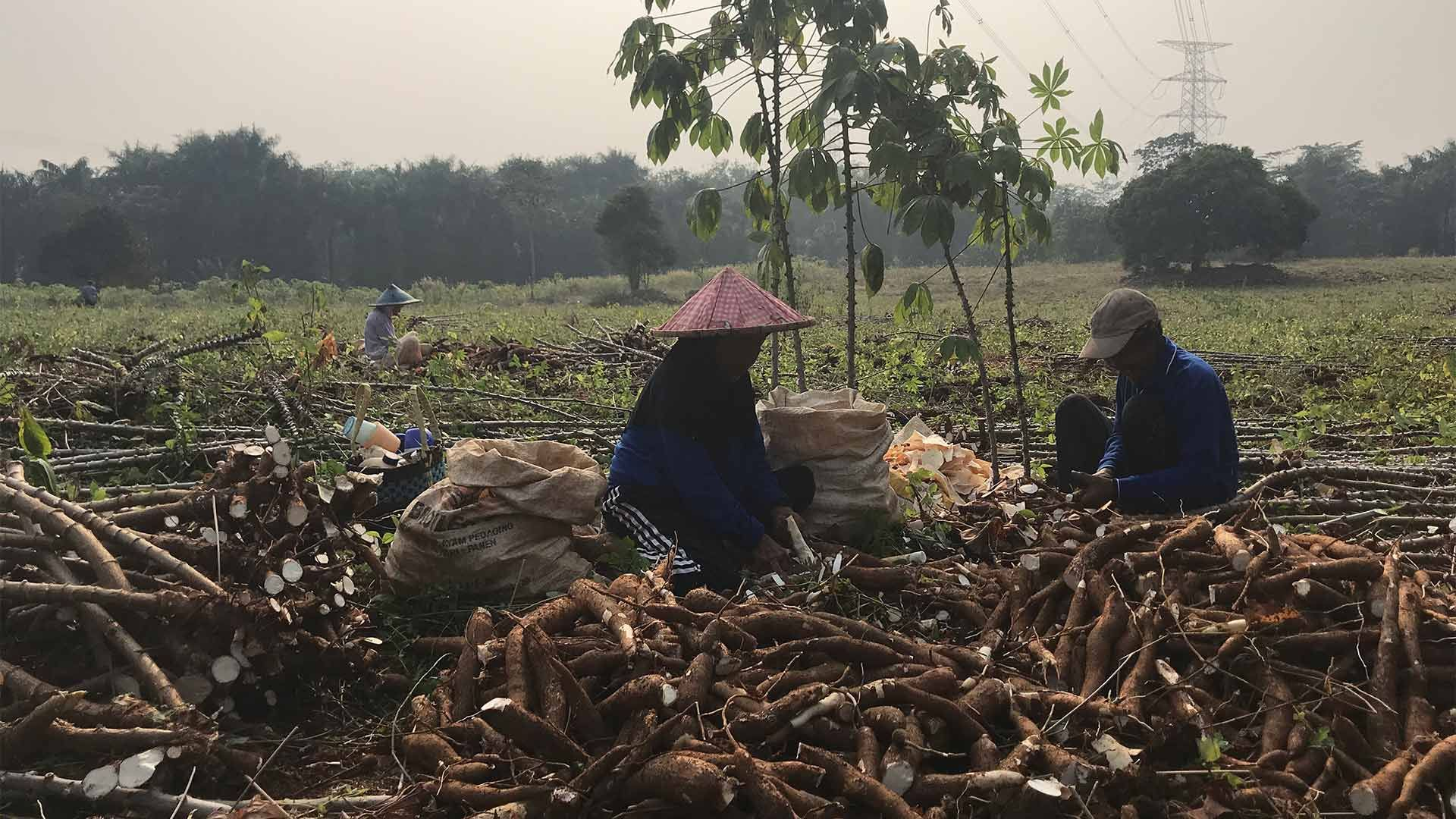 Women and men chop yams into a sack in a field