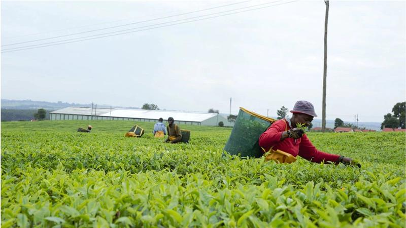 Tea pickers at our Kericho plantation in Kenya, whose seven factories are 94% powered by eucalyptus biomass