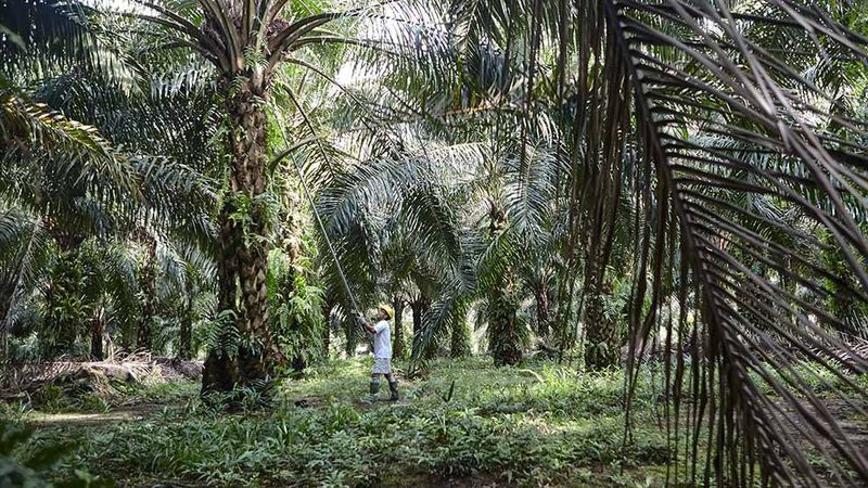 Worker working for palm oil