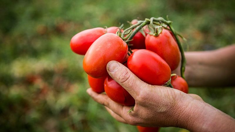 Pair of hands holding a bunch of ripe tomatoes.