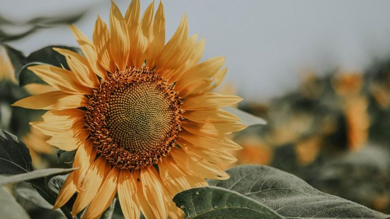 Picture of a sunflower in a field