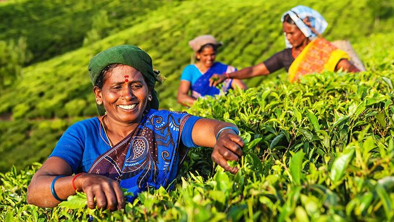 Three women in bright saris smiling on sloping field of bright green plants.