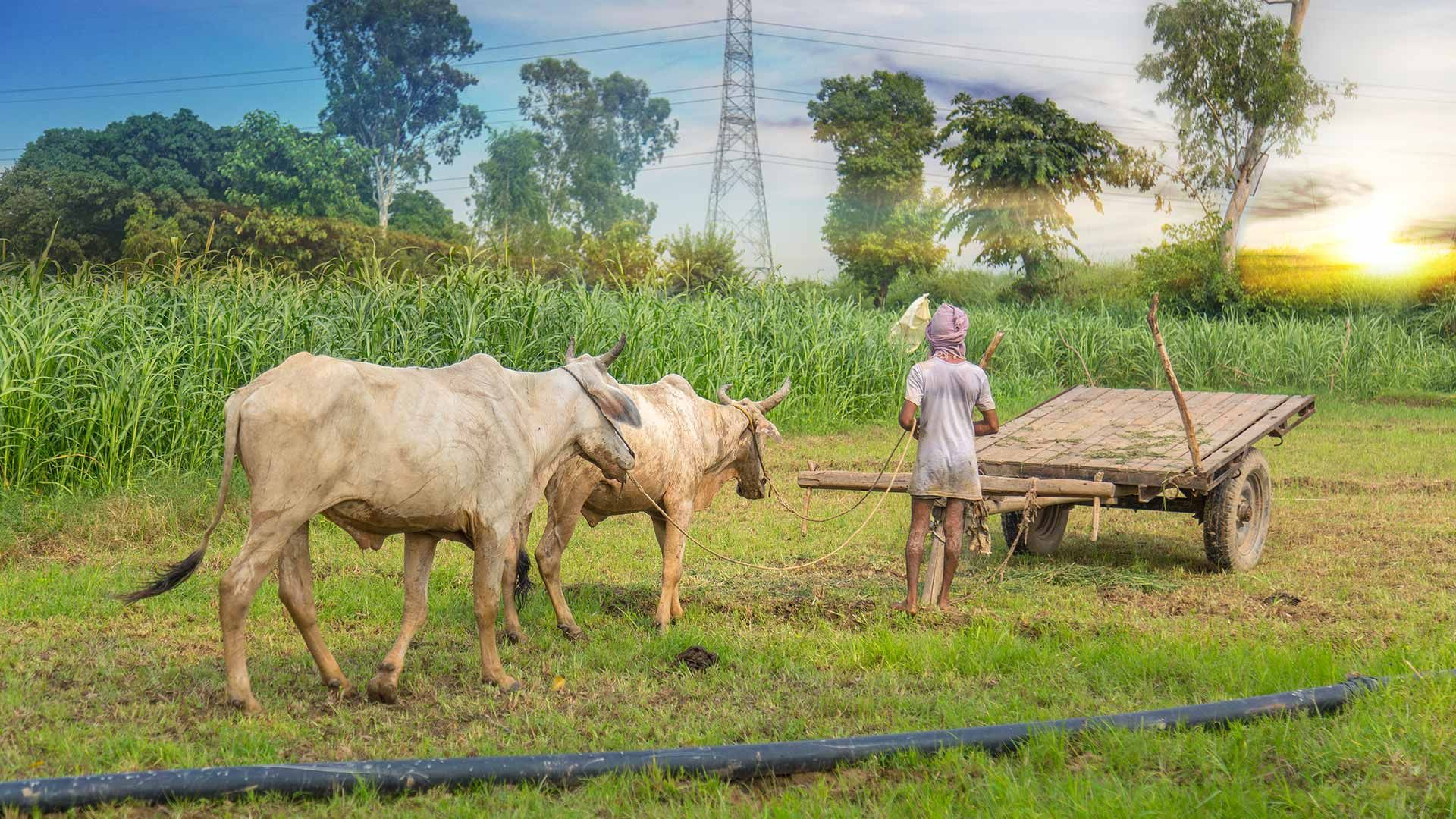 a farmer in a field with cows