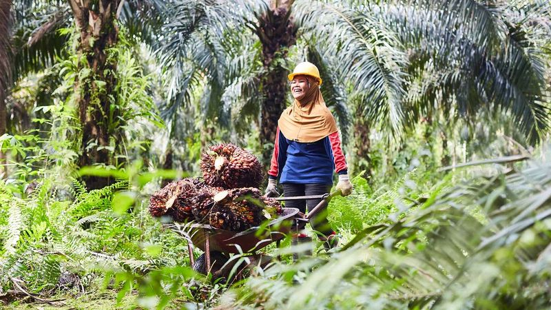 a palm oil farmer pushing a wheelbarrow of palm oil