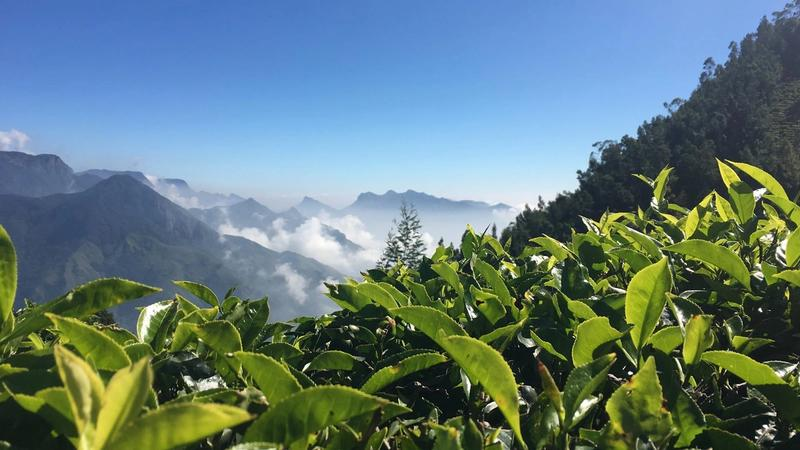 Close up view of tea bushes on a mountain landscape