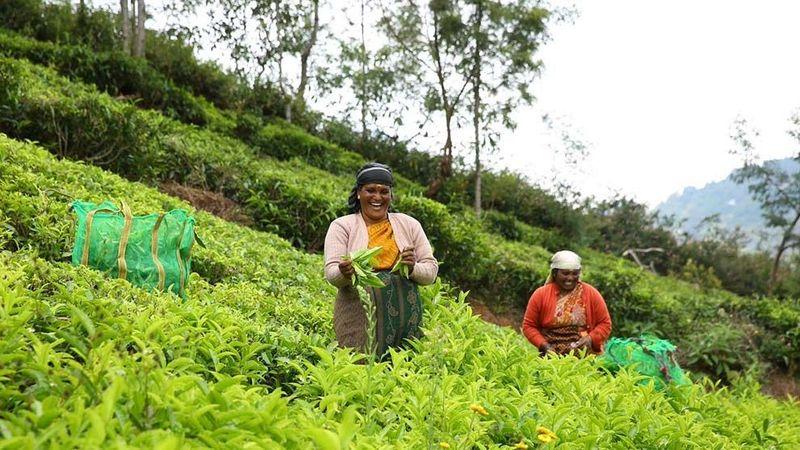 Women picking tea at plantation