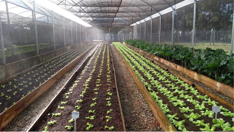 Lettuces grown in our Pouso Alegre greenhouses are fertilised with the factory's plant waste