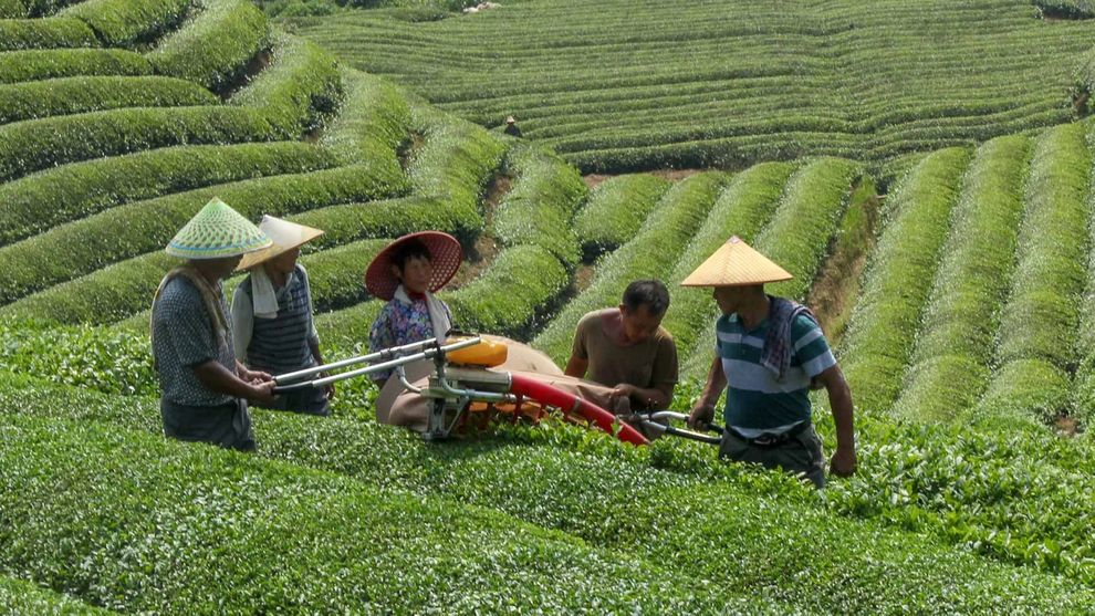 People in a field harvesting tea using a machine