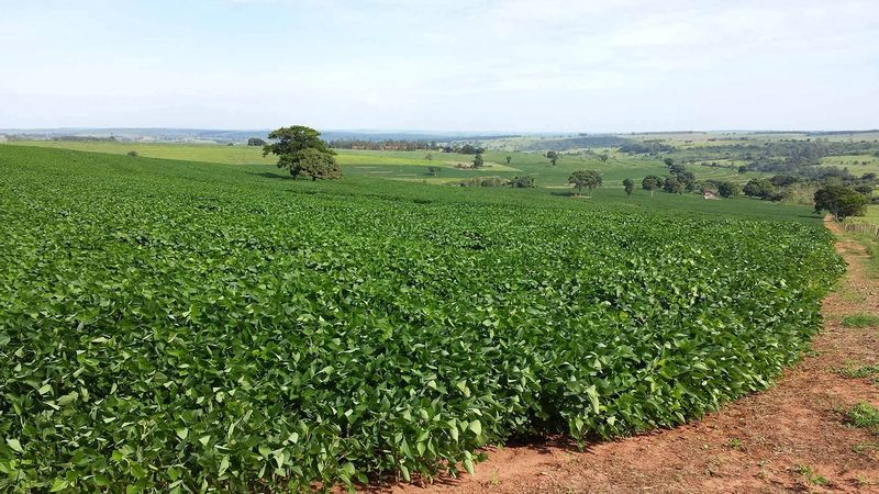 Soy bean field in Brazil