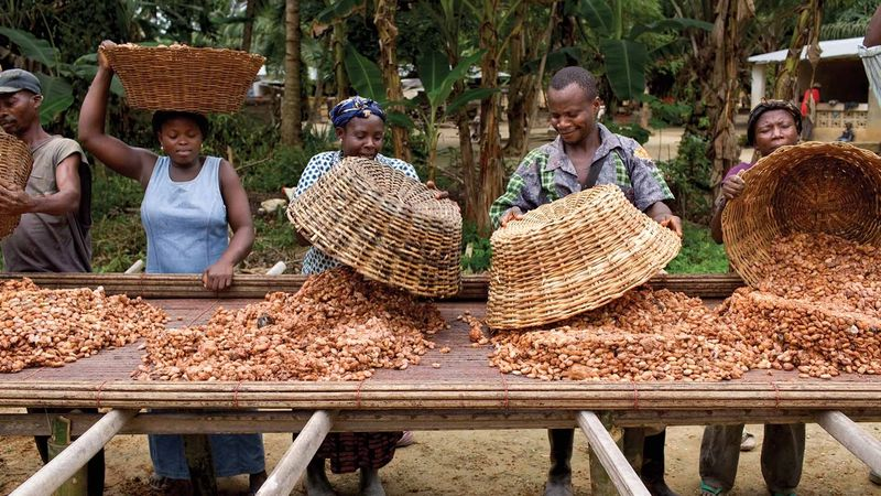 Group of farmers with baskets and spreading cocoa beans on a wooden surface for drying under the sun