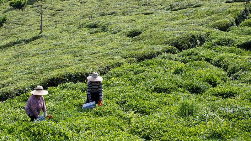 Yeşil çay tarlası içinde iki çiftçi kadın