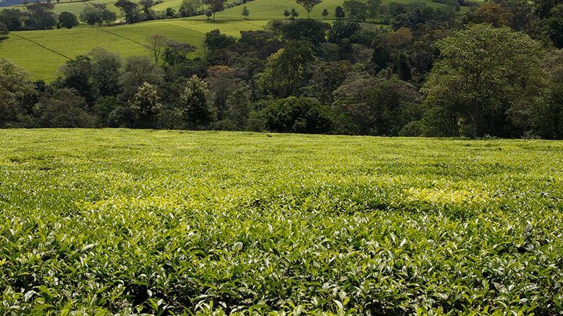 CNE Sustainable Tea Farming