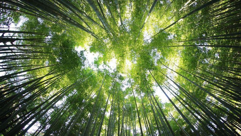 Bamboo Evergreen Flowering Giant Grass Green Long trees Plants Woods