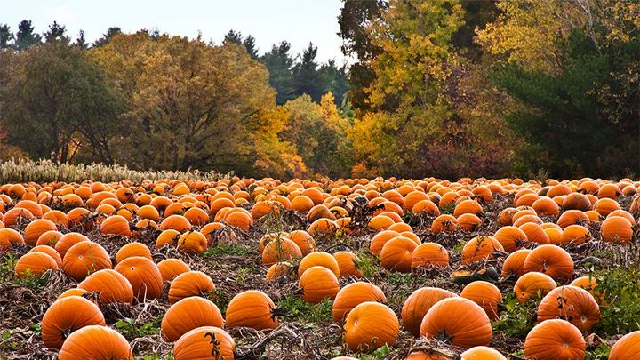 pumpkins on the ground