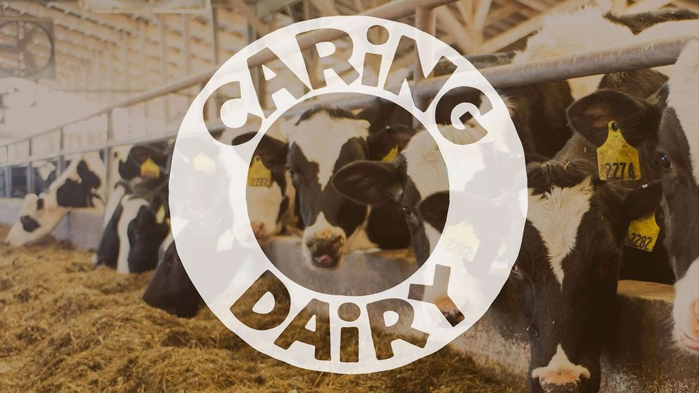 Cows eating hay in a barn. In the middle of the image is the slogan 'Caring Dairy.'