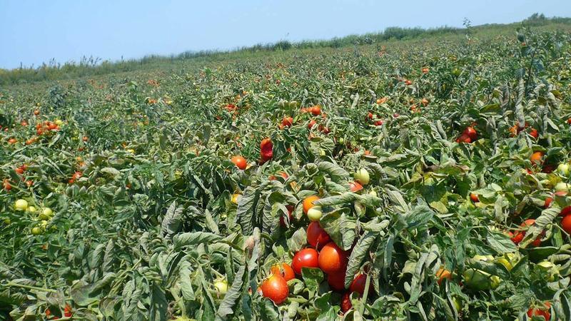 A field of tomato plants