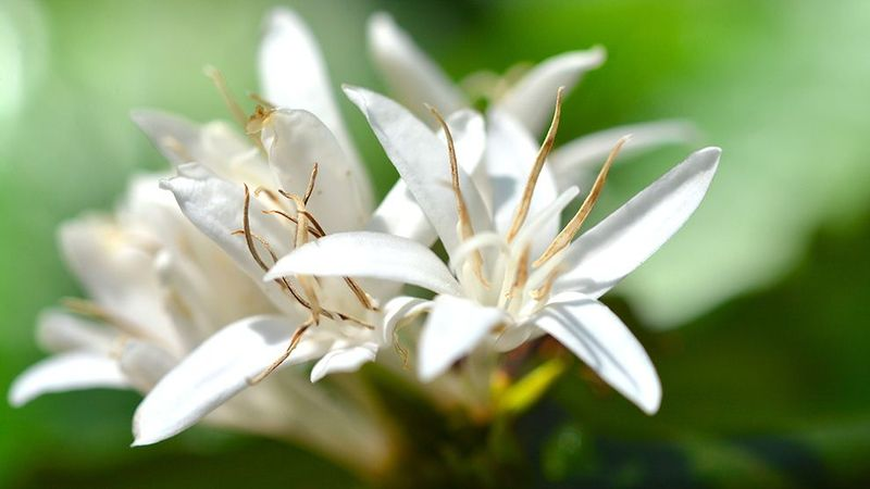 Feature image - fragrance - coffee blossom