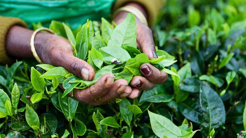 Women's hands holding a bunch of fresh green tea leaves just plucked from a tea bush