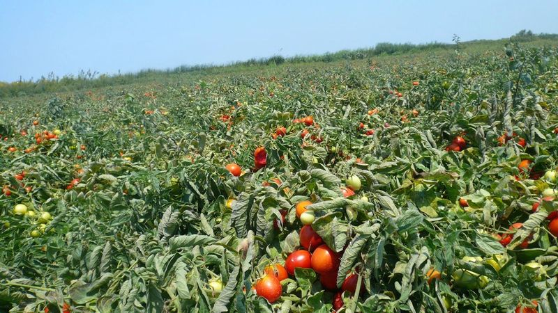 One of Knorr's tomato fields in Gastouni, Greece