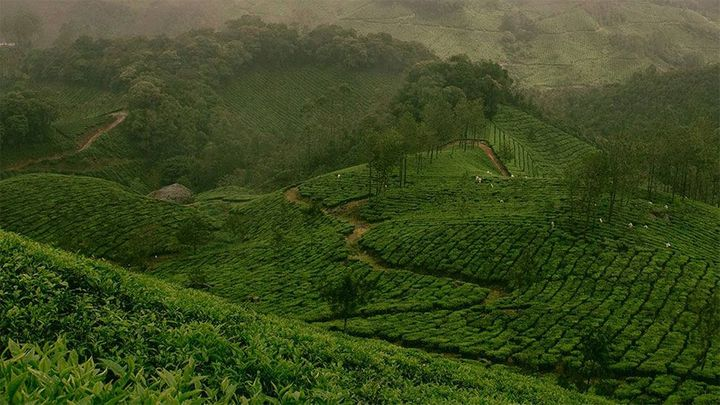 Image of tea fields