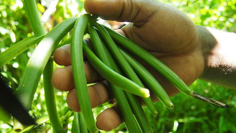 Vanilla farming in Madagascar
