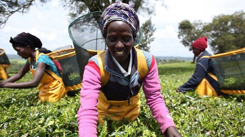 Women harvesting tea leaves on a tea plantation