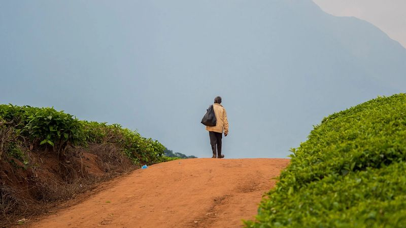 A man walking through a tea field