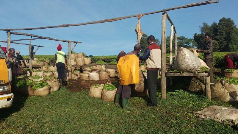 Tea farmers