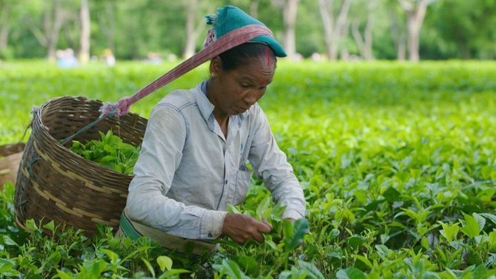 Tea plucker in India