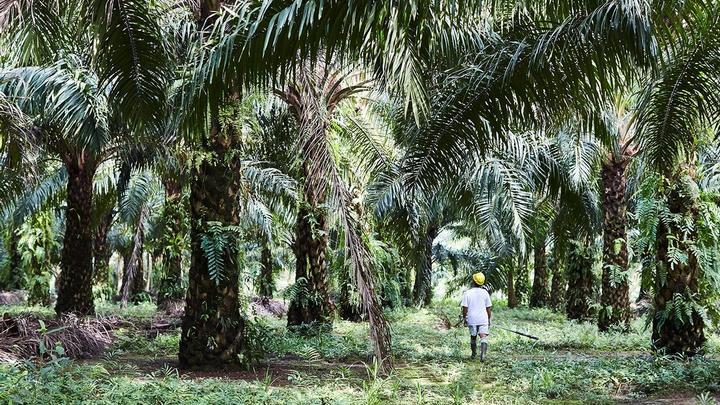 Palm oil farmer working in a plantation