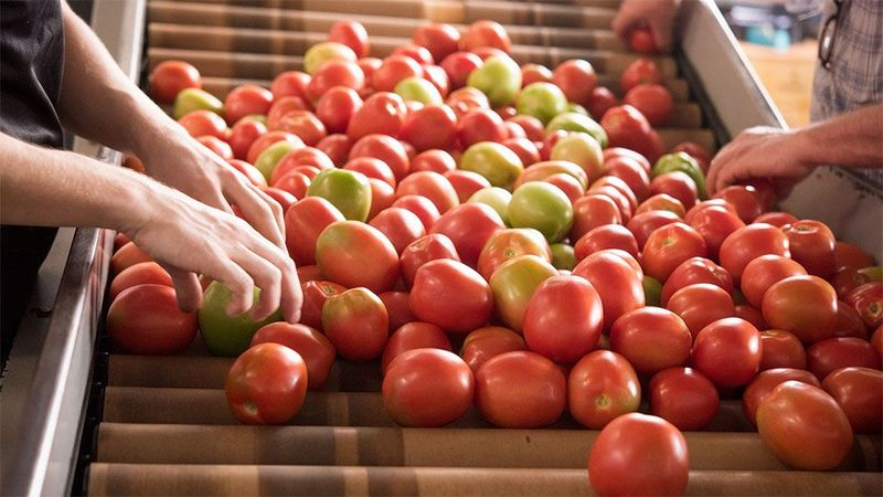 Hellmanns' tomatoes