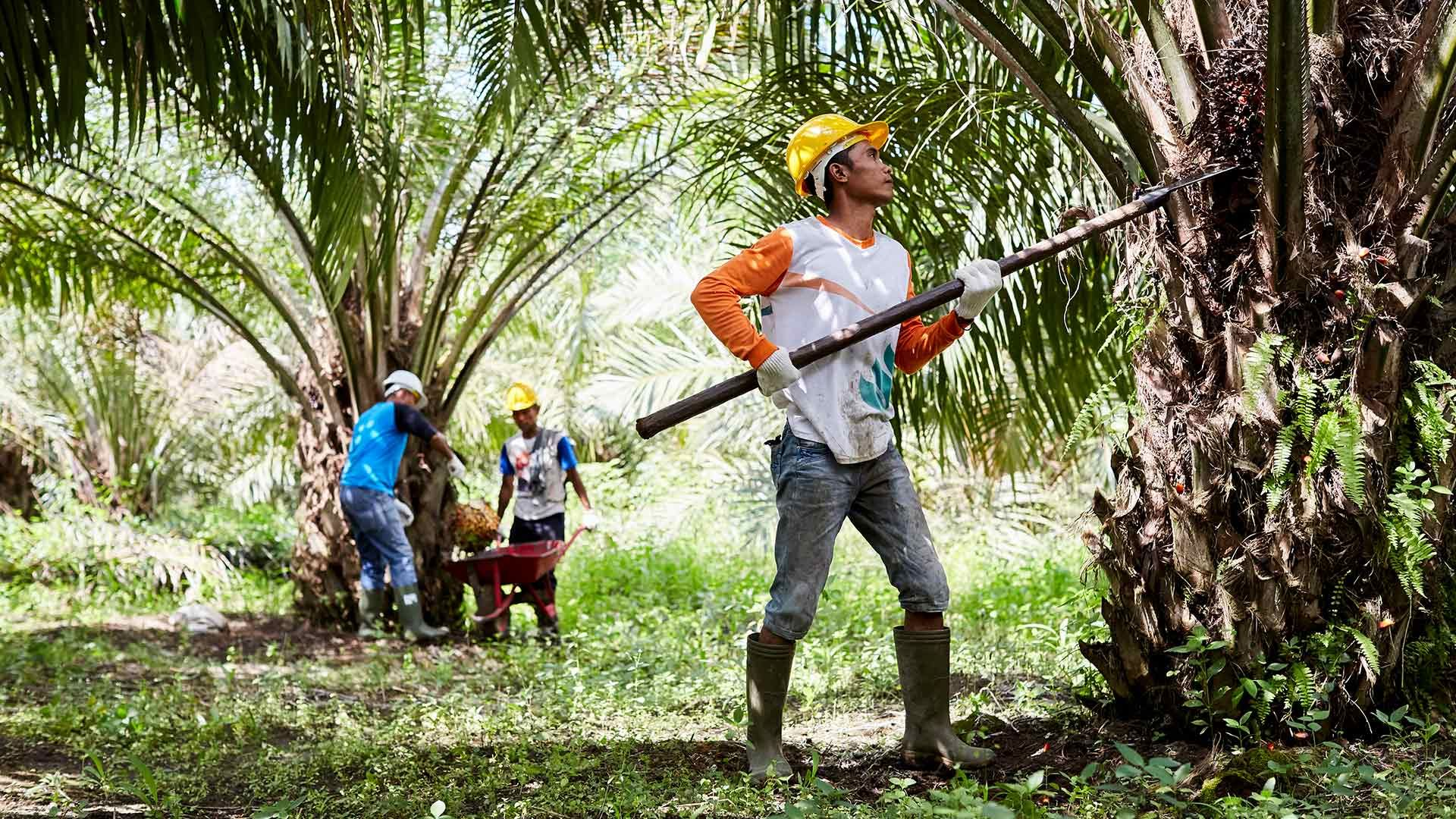 a palm oil farmer collecting palm oil