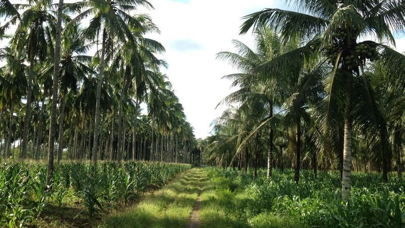Coconut trees on plantation. Unilever has joined a new initiative that aims to create a more sustainable coconut industry.