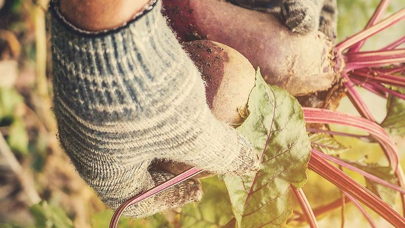 A shot of a farmers hands holding some root vegetables