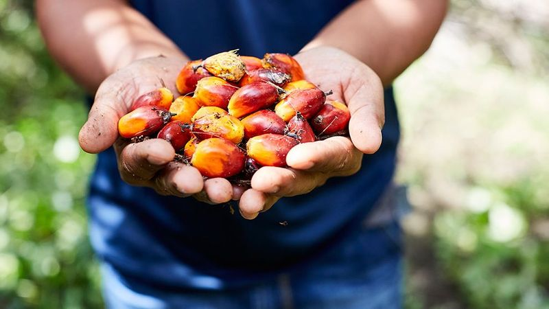 Farmer holding a handful of palm oil kernels