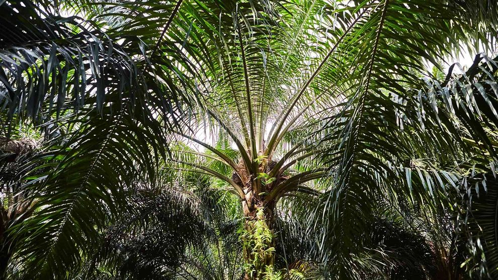Palm tree in Indonesia