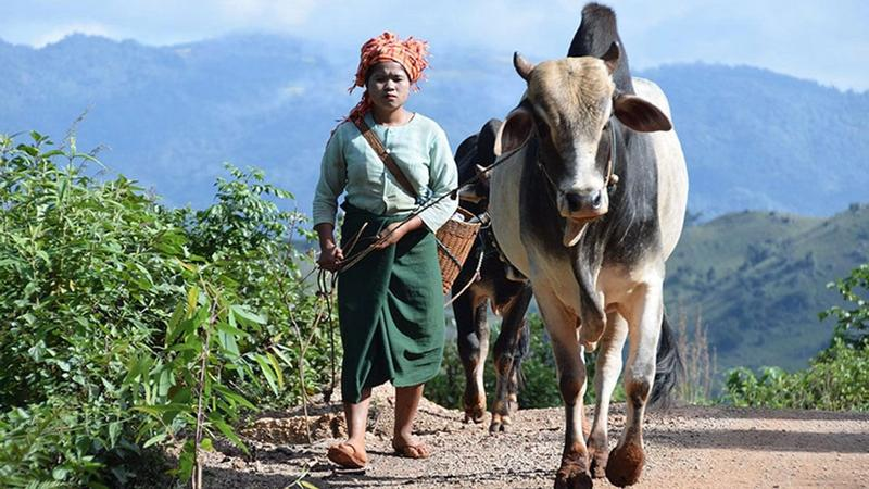 A woman pulls along cattle in a rural area