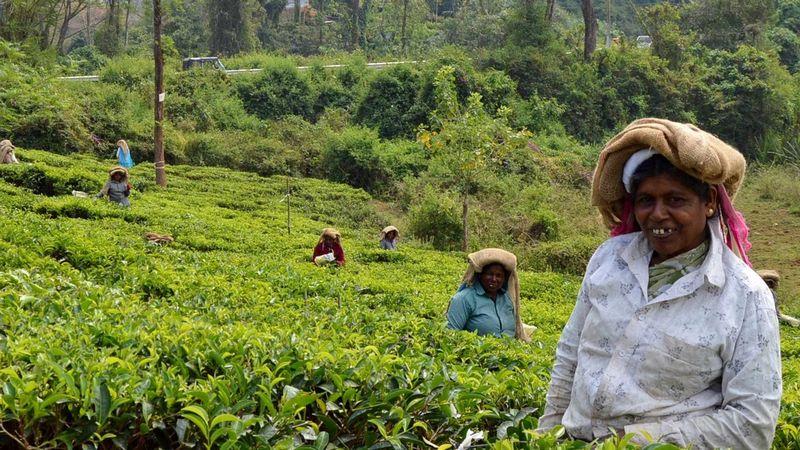 Women working in tea field