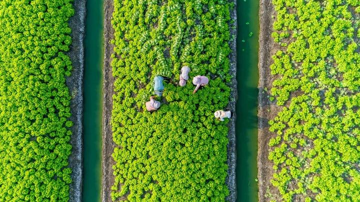 An aerial view of farmers cultivating green vegetables