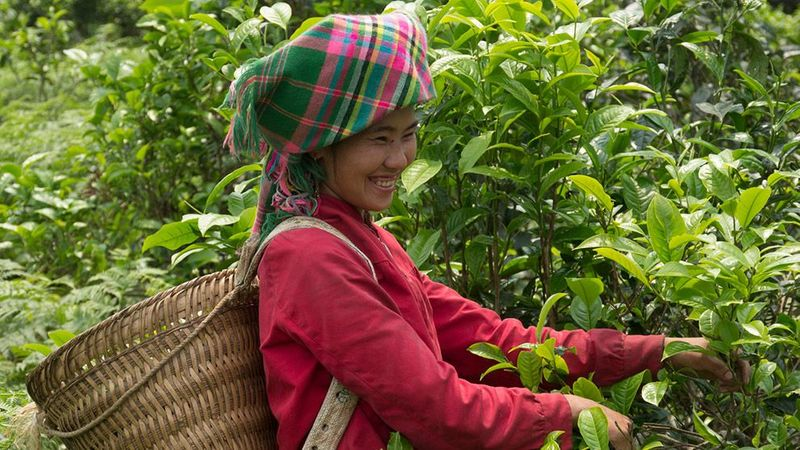 Pukka's green tea is harvested from the mountains in Vietnam