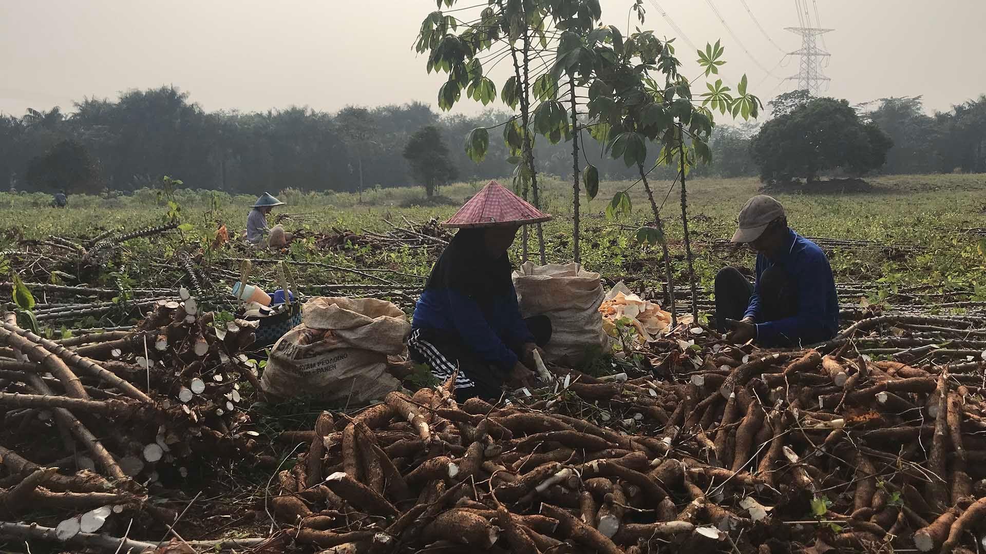 Farmers in Asia sort through their crop