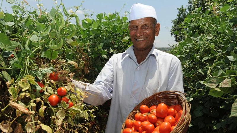 A farmer proudly showing his vines of tomatoes