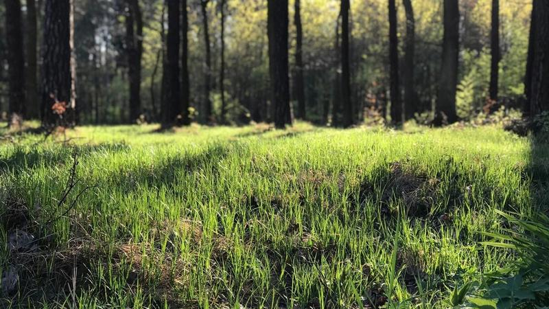 Grass grows along the bed of a forest