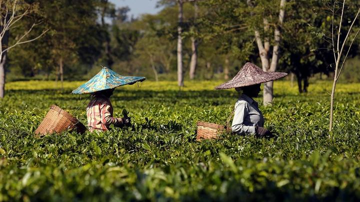 A photograph of two women picking tea leaves.