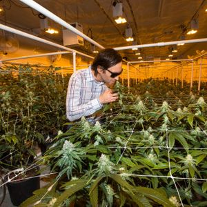 Ryan Jennemann, co-founder of THC Design, smells a marijuana plant in its flower stage as he gives a tour at the facility in Los Angeles on Friday, Aug 25, 2017. (Photo by Ed Crisostomo, Los Angeles Daily News/SCNG)